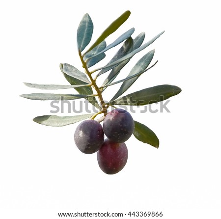 A branch of the olive tree with ripe olives  isolated on white