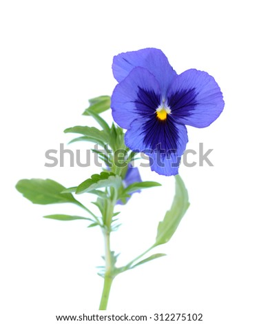 a branch purple pansy flower isolated on white background