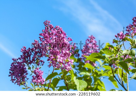 A branch with Spring lilac flowers against blue sky  - stock photo