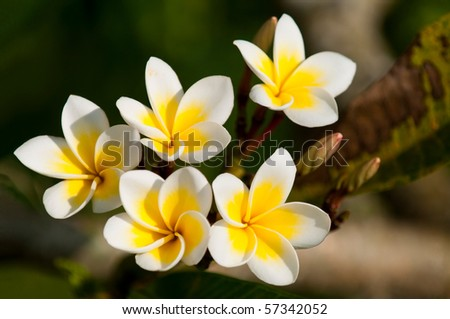 A branch with yellow frangipani flowers - stock photo