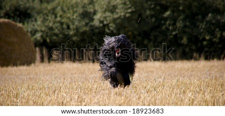 A briard running over a stubbel field