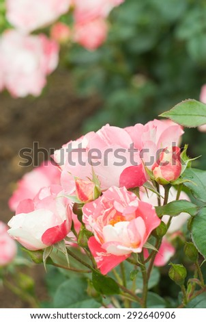 a bright bunch of delicate white-pink striped roses against blurred rose-garden background to use as space for text - stock photo