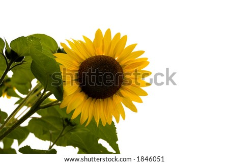 A bright, dew covered, yellow sunflower comes in from the left, leaving a lot of space for text and copy! - stock photo