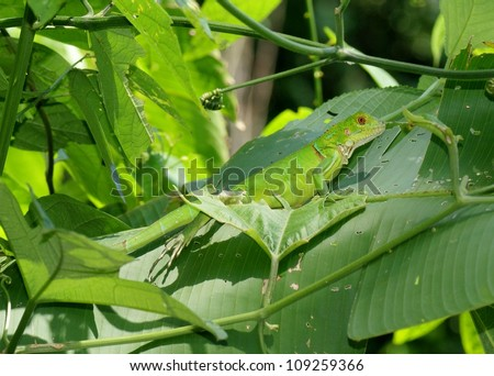 A bright green lizard in blending into the tropical rainforest - Green Iguana on banana leaves in jungle of Costa Rica - stock photo