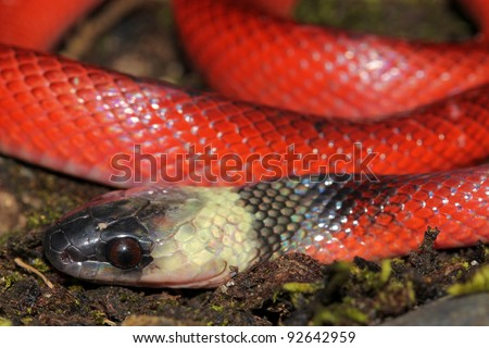 A bright RED juvenile Clelia Snake (Clelia clelia) in the Peruvian Amazon The local name is Mussurana and is highly revered as it eats other snakes, including the large venomous variety! - stock photo