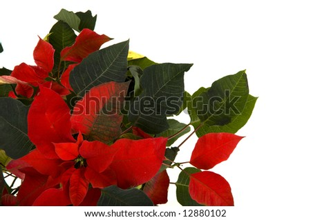 A bright red Poinsettia background on white background