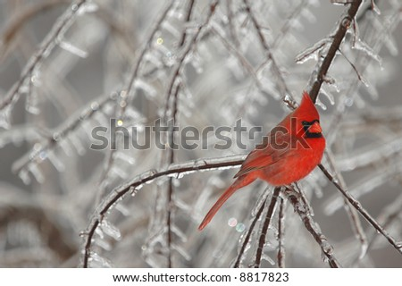 A brightly colored male northern cardinal photographed on a cold winter day. - stock photo