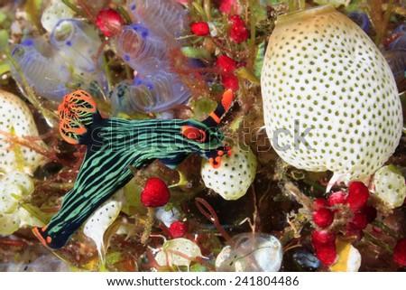 A brightly coloured Nudibranch, Nembrotha kubaryana. Often called the Variable Neon Slug, due to their bright colours. Tulamben, Bali, Indonesia. Bali Sea, Indian Ocean - stock photo