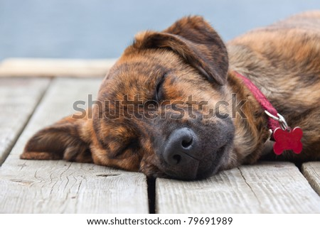 A brindled Plott hound puppy on a porch - stock photo
