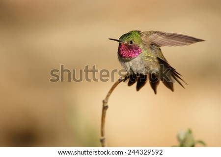 A Broad-tailed hummingbird
