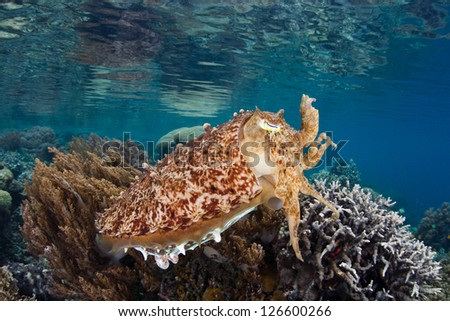 A Broadclub cuttlefish (Sepia latimanus) changes colors quickly in Raja Ampat, Indonesia.  This area is one of the most biologically diverse on Earth in terms of marine life. - stock photo
