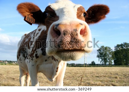 a brown and white dairy cow. Selective Dof with focus on the head. - stock photo