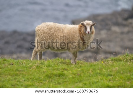 A brown and white sheep ram on the blue sea and grass background - stock photo