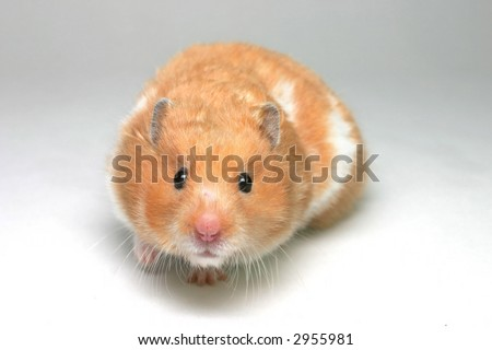 A brown and white Syrian hamster on white card backing - stock photo