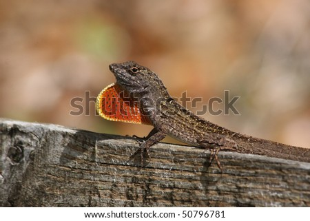 A Brown Anole lizard displaying it's red pouch. - stock photo