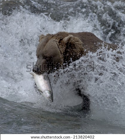 A brown bear fishes for silver salmon at McNeil River Falls in Alaska. - stock photo