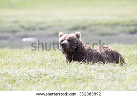 A brown bear in a field of sedge grass looking at photographer; full body - stock photo