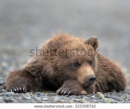 A brown bear resting on a bed of rocks. - stock photo