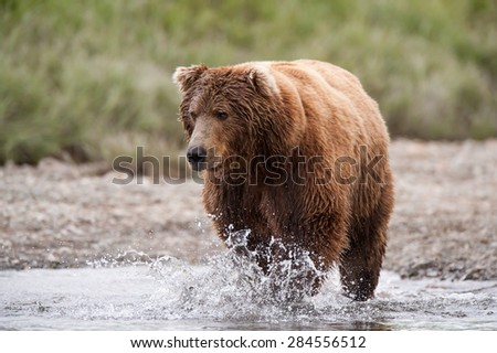 A brown bear running through a river after a salmon