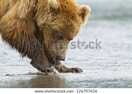 A brown bear splashes around in shallow water - stock photo