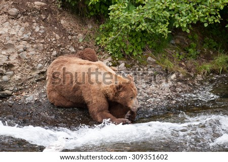 A brown bear waits on the edge of a river for salmon to jump  - stock photo