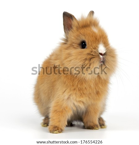 A brown bunny with small pointed ears and long whiskers.