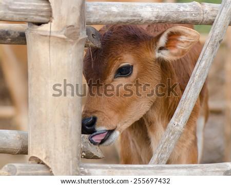 A brown calf standing in barn pen - stock photo