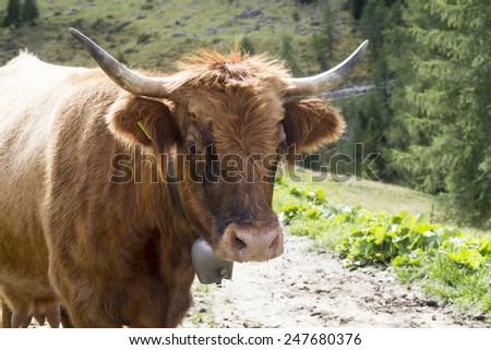 A brown cow portrait - Aberdeen Angus - stock photo