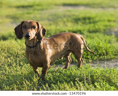 A brown dachshund on the grass - stock photo