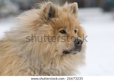 a brown eurasier dog looking mindful and worried at something distant in a snowy background - stock photo