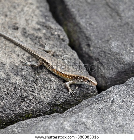 A brown garden lizard also known as Skink, resting on a stone.