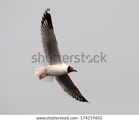 A Brown headed Gull on breeding.(Larus brunnicecephalus) Bangpu Samuthprakharn,Thai land
