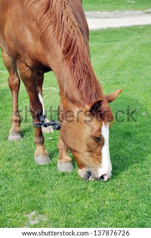 A brown horse grazing