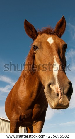 A brown horse leaning to the camera. - stock photo