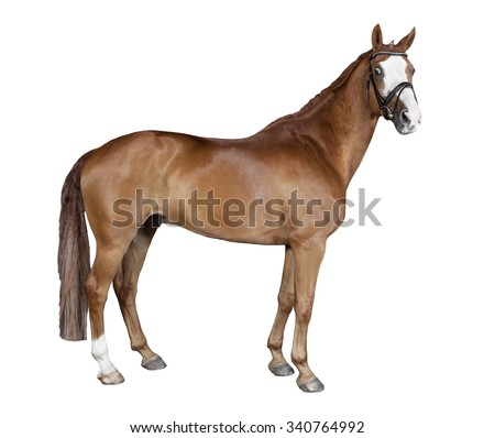 a brown horse with bridle in front of white background - stock photo