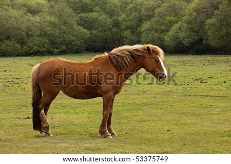 A brown New Forest Pony in profile against a backdrop of green grass and trees - stock photo