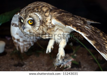 A brown owl flying and hunting at night - stock photo