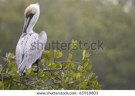 A brown pelican in an estuary in Naples Florida. - stock photo
