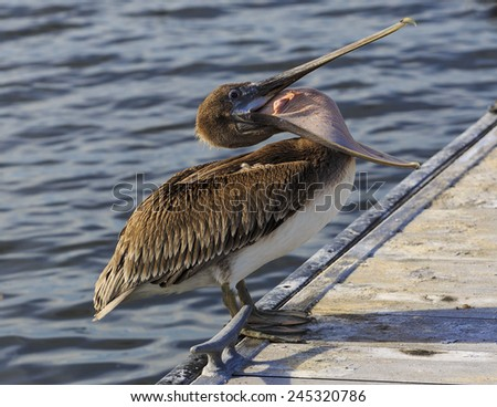 A brown pelican standing on a dock yawns.  - stock photo