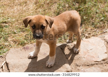 A brown puppy with a black muzzle and white socks on its feet is looking up into the camera on a sunny day.