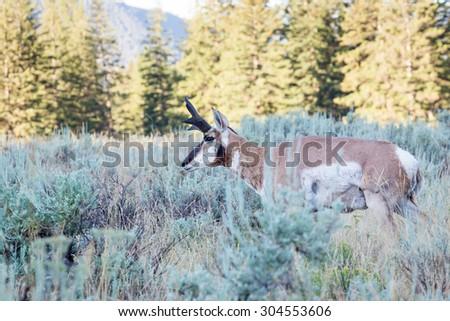 A buck antelope on the Wyoming prairie. - stock photo