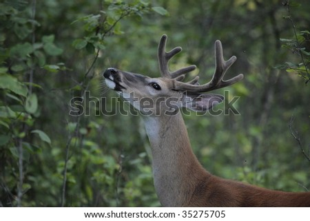 a buck smelling - stock photo