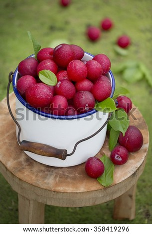 A bucket of plum in orchard. Outdoor. - stock photo