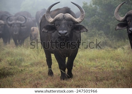 A Buffalo Cow stares at the photographer in the Mist - stock photo