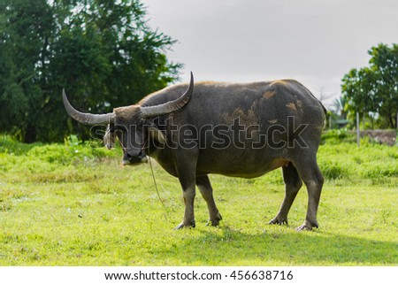 A buffalo standing in the grass field