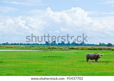 A buffalo stands in the  field, Thailand - stock photo