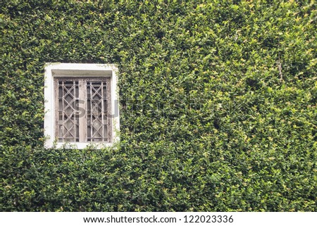 a building and old window covered with creeping fig - stock photo