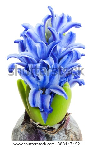 A bulb blooming with blue flowers isolated on white background - stock photo