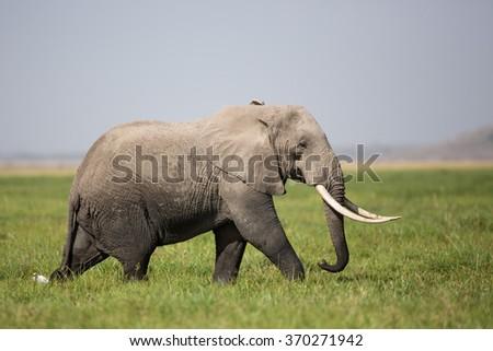 A Bull Elephant in Amboseli, Kenya - stock photo