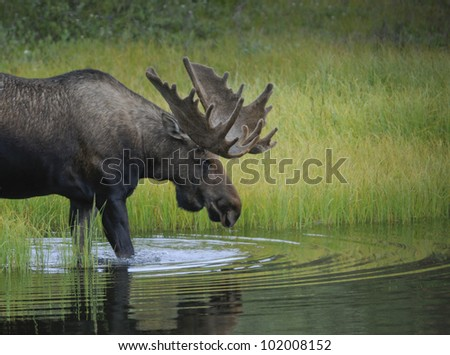 A Bull Moose (Alces alces) wades into a pond to feed on aquatic grasses, Denali National Park, Alaska. - stock photo